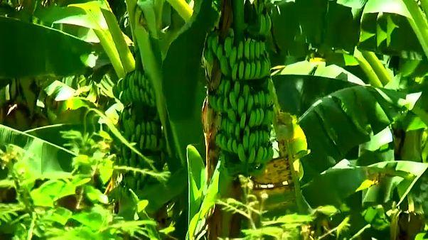 Колумбия: бананы тоже болеют