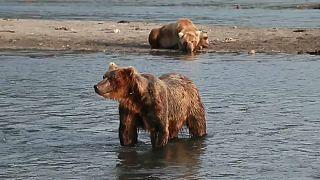 Russie : des ours s'aventurent dans un circuit touristique pour trouver à manger