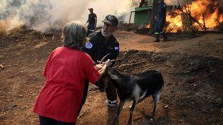 Euböa im Ausnahmezustand: Tausende Tiere verbrannt