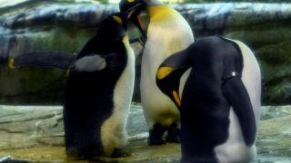 Γερμανία: Δύο ομοφυλόφιλοι πιγκουίνοι κλωσσούν ένα αυγό