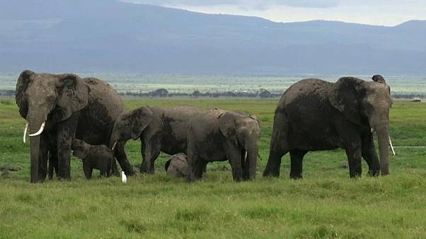 اتفاقية التجارة الدولية تحظر بيع صغار الفيلة البرية المهددة بالانقراض للحدائق