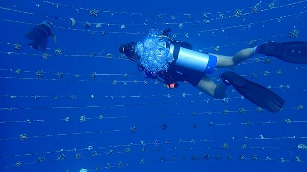 Diver in a coral nursery