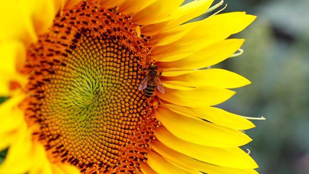 Negyed év alatt több mint 500 millió méh pusztult el Brazíliában
