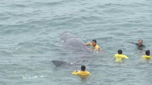Muere una cría de cachalote  en Lima pese a los esfuerzos por salvarla