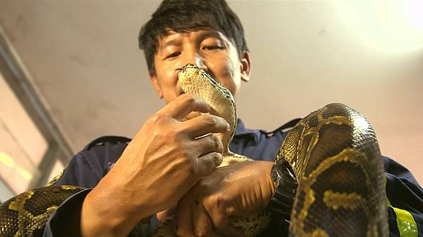Thailand's self-styled snake wrangler to the rescue as venomous reptiles search for food