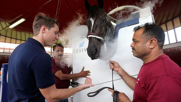 بالصور: دبي تستخدم تكنولوجيا التبريد لعلاج الخيول