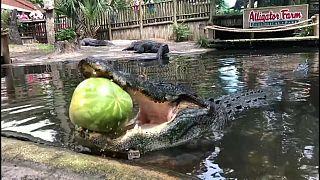 شاهد: القوة الساحقة لفكي تمساح وهو يقضم بطيخة