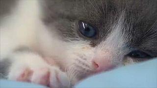 شاهد: أول قط مستنسخ في بكين!