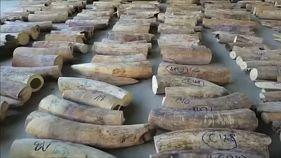 Presión a la Unión Europea para prohibir el comercio de Marfil