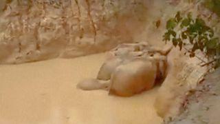 Opération sauvetage éléphants en Malaisie
