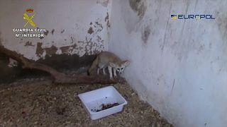 شاهد: الكشف عن عصابة لتهريب الحيوانات النادرة في إسبانيا