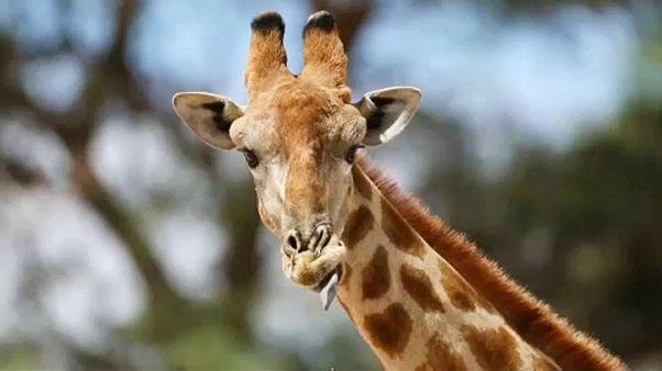 Szigorítják a zsiráfok kereskedelmét