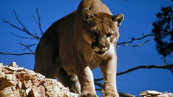 Puma beißt 8-Jährigen beim Spielen im Garten in den Kopf