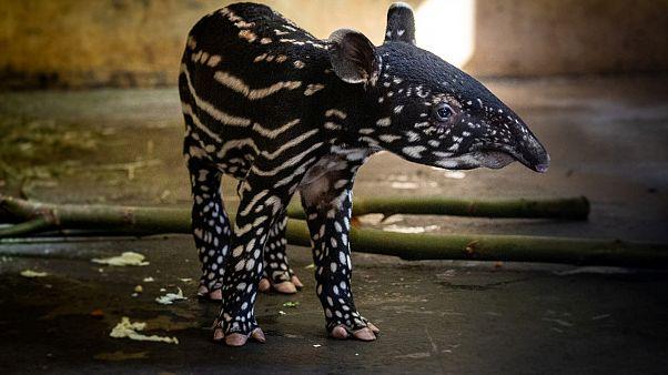 شاهد: أنثى تابير مهددة بالانقراض تضع مولودها الثالث في بلجيكا