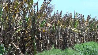 Gomba pusztítja a dél-amerikai banánföldeket