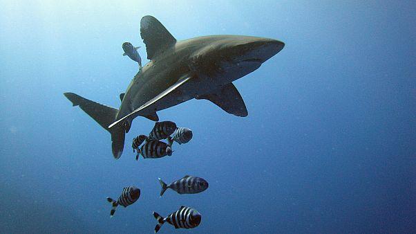 Le requin mako, menacé par la pêche, bientôt protégé
