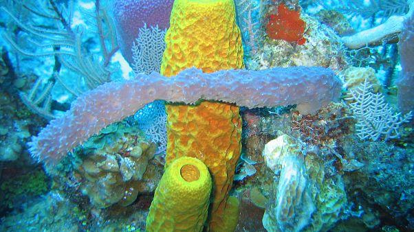 Distintos tipos de esponjas marinas en una imagen captada en aguas de las Islas Caimán