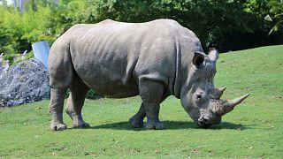 شاهد: بعد انقراض الذكور...عملية تلقيح صناعي لأنثى وحيد القرن تحيي آمال بقائها