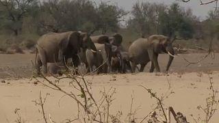 Limites à captura de elefantes selvagens para venda a zoos