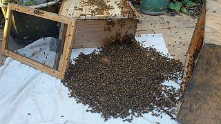 زنبورهای عسل در معرض نابودی؛ اروپا ناتوان در اتخاذ اقدامات اساسی