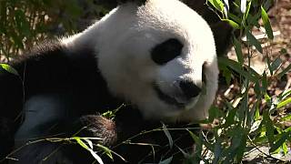 الباندا منج منج