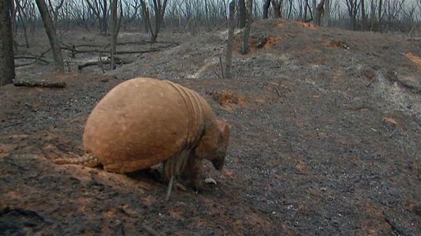 Pusztul az állatvilág az erdőtüzek miatt