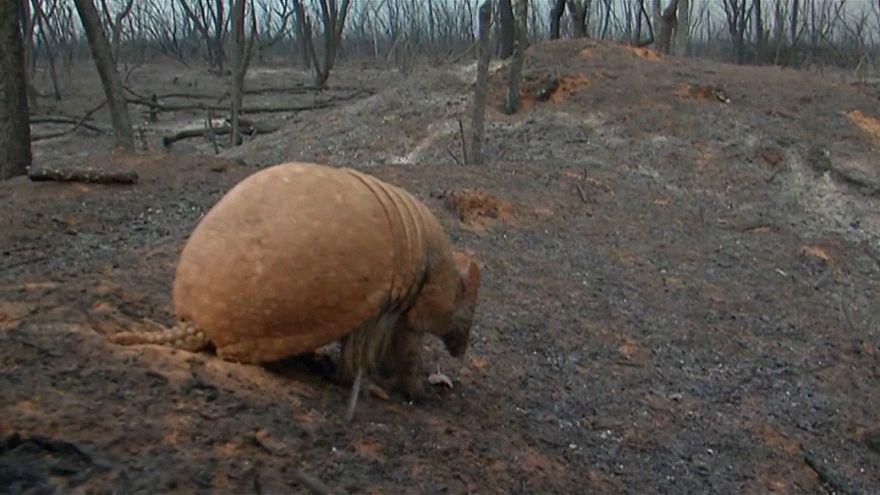 جنگلی که خاکستر شد؛ نجات گورکن نابینا از آتشسوزی بولیوی