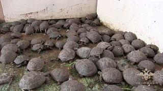 Следователи МВД выкормили и выпустили на волю более 4 тыс. черепах