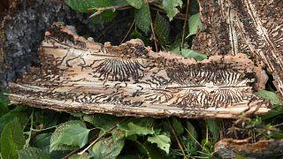 لحاء شجرة مصابة بحشرات بغابة في ألمانيا