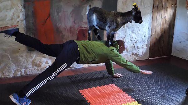 В Шотландии можно заняться пилатесом с козами