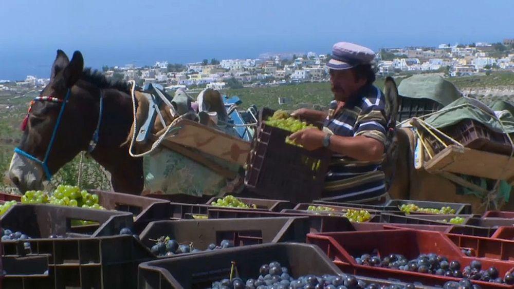 Watch: Climate change hits Greek wine as grape harvest falls 30% - Euronews
