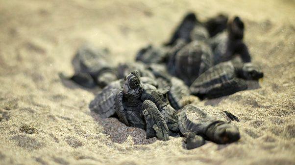 شاهد: زواحف مهددة بالانقراض تتكاثر بشكل مفاجئ لتغزو شواطئ الإكوادور