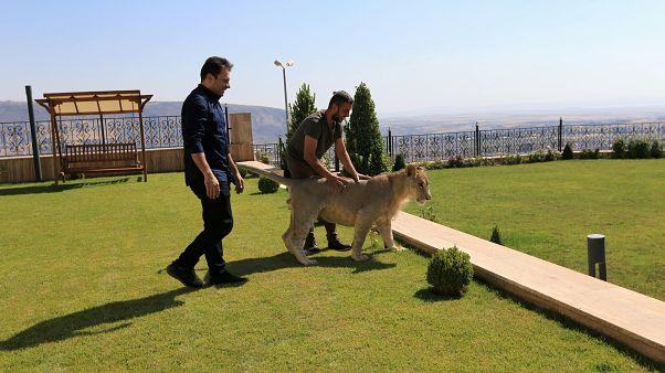 Домашний лев в Дахуке