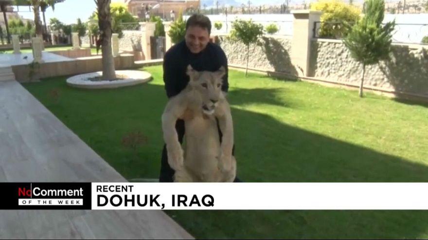 ویدئوهای برگزیده هفته؛ از تجمع دوستداران حیوانات در کلمبیا تا شیر دستآموز عراق
