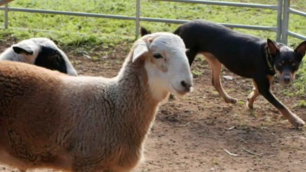 فيديو: جلسات علاج ذهنية لكلاب الغنم لتحسين مزاجها وتعليمها حياة الريف في أستراليا