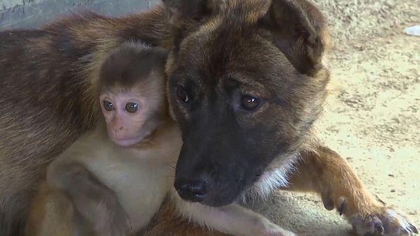 Kutyák nevelnek egy makákókölyköt Kínában