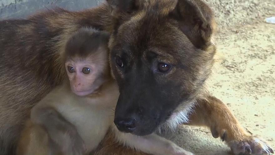 رفاقت بچه میمون یک ماهه با سگهای چینی