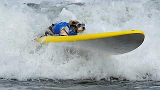Als Hai verkleidet auf dem Surfbrett: Welcher Hund gewinnt den Knochen als Top-Surfer?