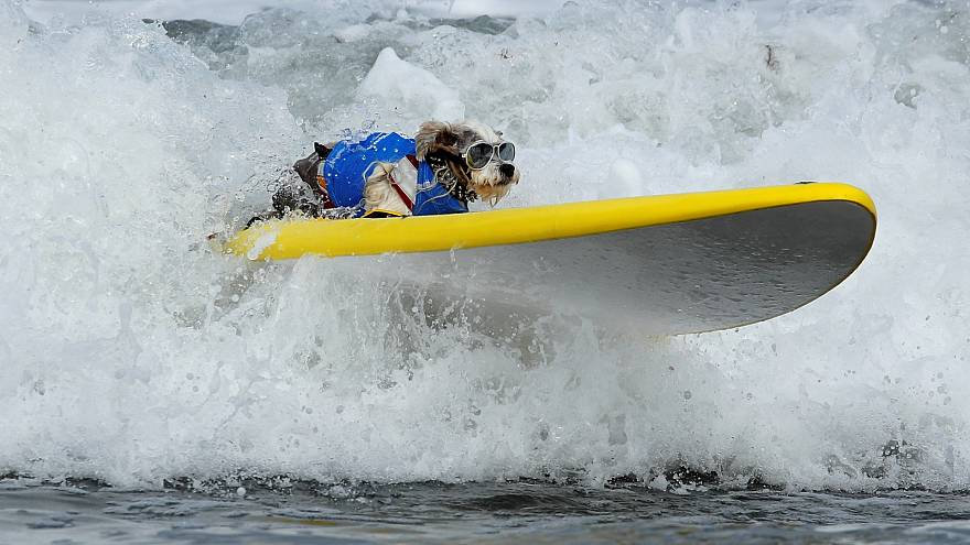 Surfing dogs hit the waves in California