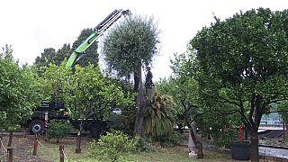 La Xylella minaccia gli olivi di tutta Europa