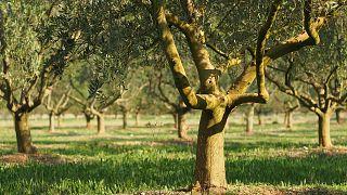 Gyorsan terjedő betegség tartja rettegésben az olivaolajtermelőket
