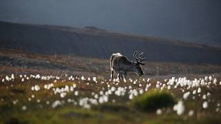 A reindeer has hospitalised a dozen Finnish soldiers in Lapland.