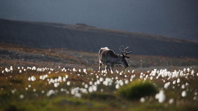 Reindeer accident in Lapland