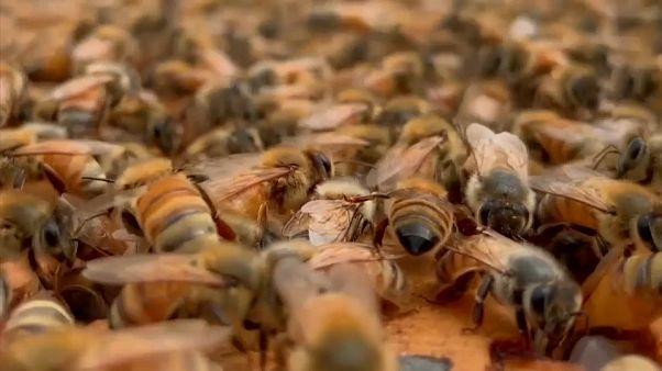 شاهد: تربية النحل علاج للاضطرابات الذهنية والنفسية