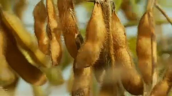 Folytatódhat a génmódosított szójabab árusítása az Unióban