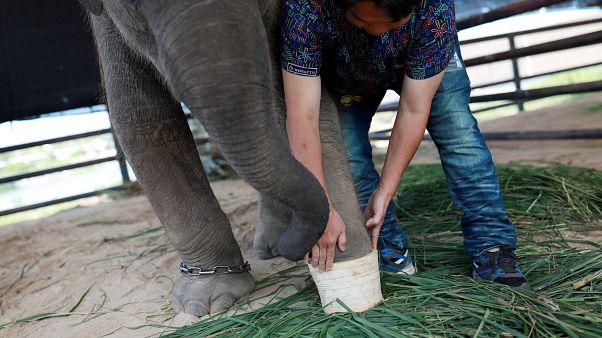 شاهد: حديقة حيوان في تايلاند تنقذ فيلاً مصاباً بواسطة قدم اصطناعية