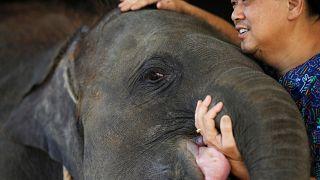 Протез для слонёнка