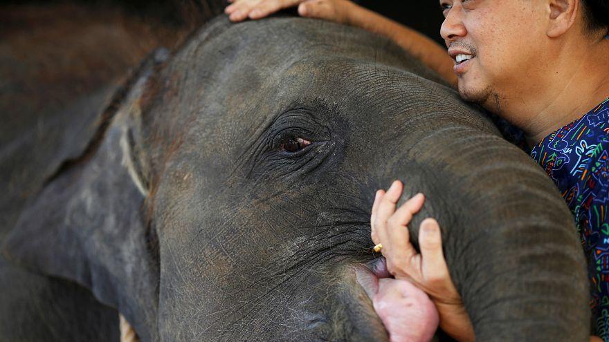 ویدئو؛ بچه فیل با پای مصنوعی به خانه جدیدش میرود