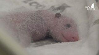 Berlins Mini-Pandas kriegen langsam Fell (Video)