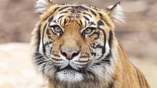 Több mint a fele elpusztult a hírhedt thaiföldi Tigris Templomból kimentett nagymacskáknak